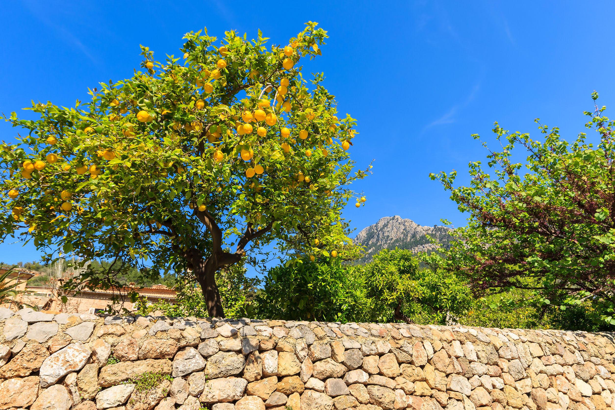 Organischer Orangenbaum